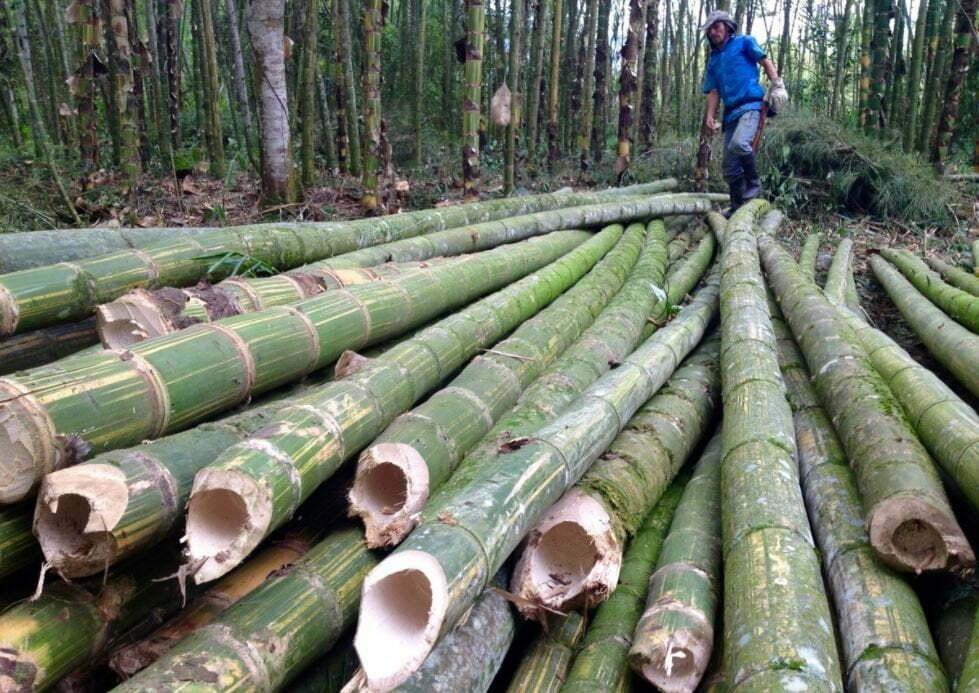 récolte du bambou